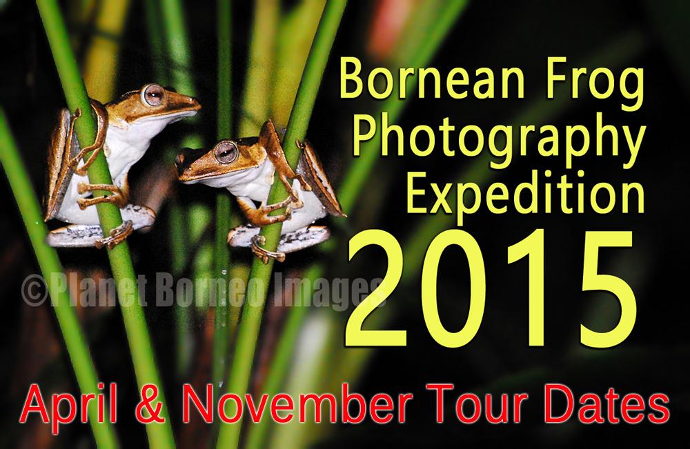 Sarawak Frog Race Photography