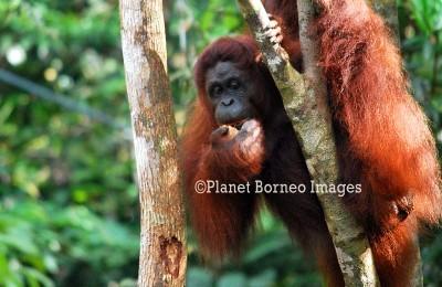 Semenggoh Orangutan Tours